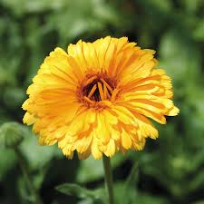 calendula flowers calendula flower seeds