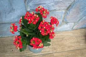 madagascar native plants things you should know about taking care of kalanchoe plants