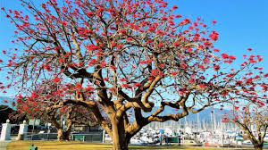 april tree of the month coral tree edhat
