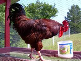 rhode island red rooster unusual chickens for the exceptional