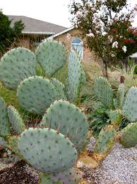 plants native to oklahoma opuntia prickly pear cactus eco landscaping