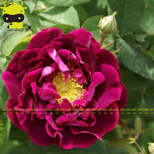 climbing rose bushes promotion shop for promotional climbing rose