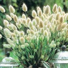 bunny tails lagurus ovatus ornamental grass seeds the sun
