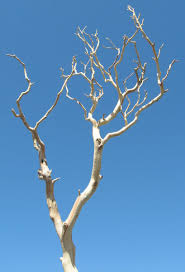 manzanita branches for sale branches sanded manzanita 18 26in