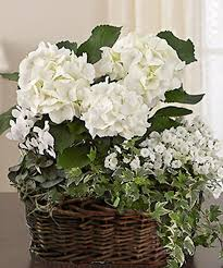 white hydrangea carithers flowers same day delivery of beautiful flowering plants