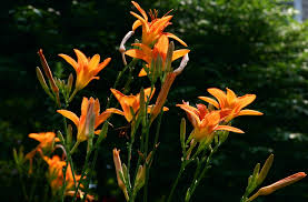 day lillies how to grow and care for daylilies info about daylilies ahs