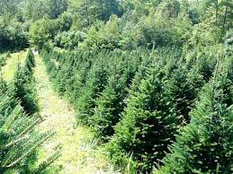 balsam christmas tree the best christmas tree farms in maine wolf cove inn