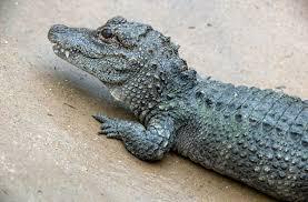 crocodilian san diego zoo animals u0026 plants