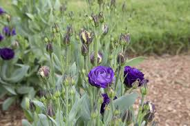 lisianthus flower lisianthus flower meaning flower meaning