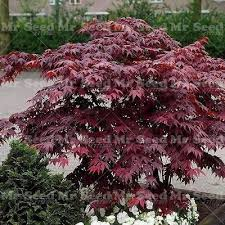 10pcs weeping japanese maple tree seeds garden