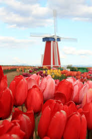 Netherlands Tulip Fields Best 25 Dutch Tulip Flower Photos Ideas On Pinterest Dutch