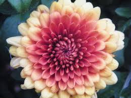 flowers in november november birth flower tattoo chrysanthemum tattoos inked