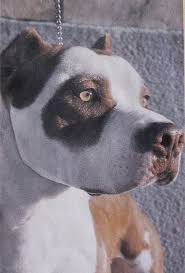 l american pitbull terrier a p b t american pit bull terrier wikiwand