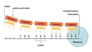 bbc higher bitesize biology rna and protein synthesis