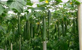 Cucumber Spacing On Trellis Cucumbers Personality And Pickles Green Bean Connection