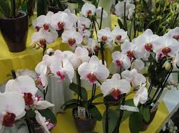 moth orchid repotting phalaenopsis moth other monopodial orchids