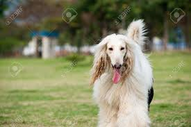 afghan hound tattoo 15 gracious white afghan hound pictures and photos
