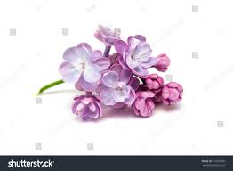 lilac flowers isolated on white background stock photo 277010966