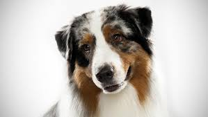 images of australian shepherd australian shepherd dog breed selector animal planet