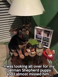 Funny Puppy Memes - cute german shepherd memes german shepherd puppies dog