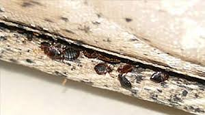 How To Get Rid Of Bed Bugs In Mattress How To Treat A Hotel Room For Bed Bugs