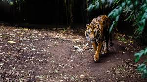 tiger hd wallpapers 4k