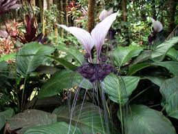 plants native to africa the genus tacca which includes the bat flowers and arrowroot