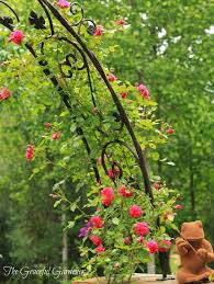 the graceful gardener don juan climbing rose