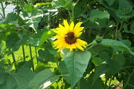 sunflowers for sale how to grow sunflower plants growing sunflowers seeds sale