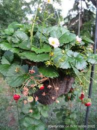 hanging strawberry garden how to grow strawberries in small spaces