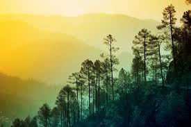 Wall Mural Forest Sunrise Wall Himalayan Tree Wallpaper Wall Mural Muralswallpaper Co Uk