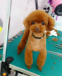 different toy poodle cuts grooming dogs pinterest poodle dog and poodle grooming