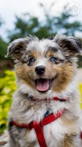 australian shepherd puppies for sale los angeles miniature australian shepherd puppies for sale miniature american