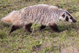 Iowa Wild Animals images American badger wikipedia jpg