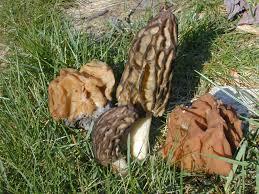 wild mushrooms ohioline