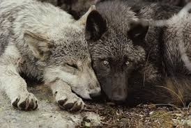 are you a black wolf or white wolf playbuzz