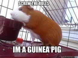 Shaved Guinea Pig Meme - 486 best crazy for guinea pigs images on pinterest guinea pigs