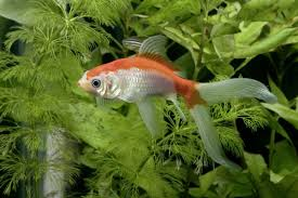 freshwater fish get these non aggressive freshwater fish to have a peaceful tank