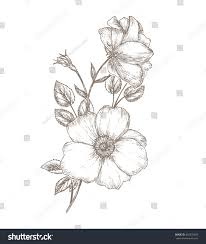 royalty free vintage dog rose sketch flower u2026 432970639 stock