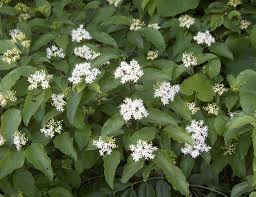 native plants list dogwood shrub varieties check out the free plant identification