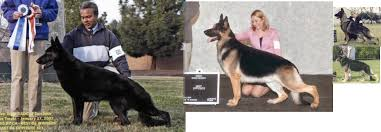 belgian sheepdog vs german shepherd past to present in the german shepherd