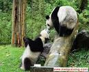 amazing panda photos