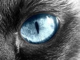 Anatomy Of A Cats Eye The Anatomy Of Cats U0027 Eyes Warriors Amino