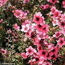 Pink Spring Flowering Shrubs - flowering shrubs inland valley garden planner