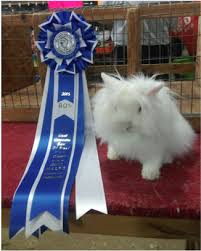 lion heads for sale lion valley lionhead mini lop and netherland rabbits home