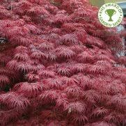 buy large established trees ornamental trees ltd