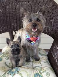 brindle cairn haircut my cairn terrier ozzie furry friends pinterest cairn