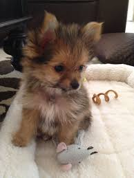could this little yorkie poo be any cuter dog yorkies and animal