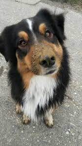 australian shepherd water 769 best australian shepherd aussie images on pinterest animals