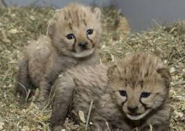 lions for sale a big cat tiger cubs cheetah cubs online top online breeder for